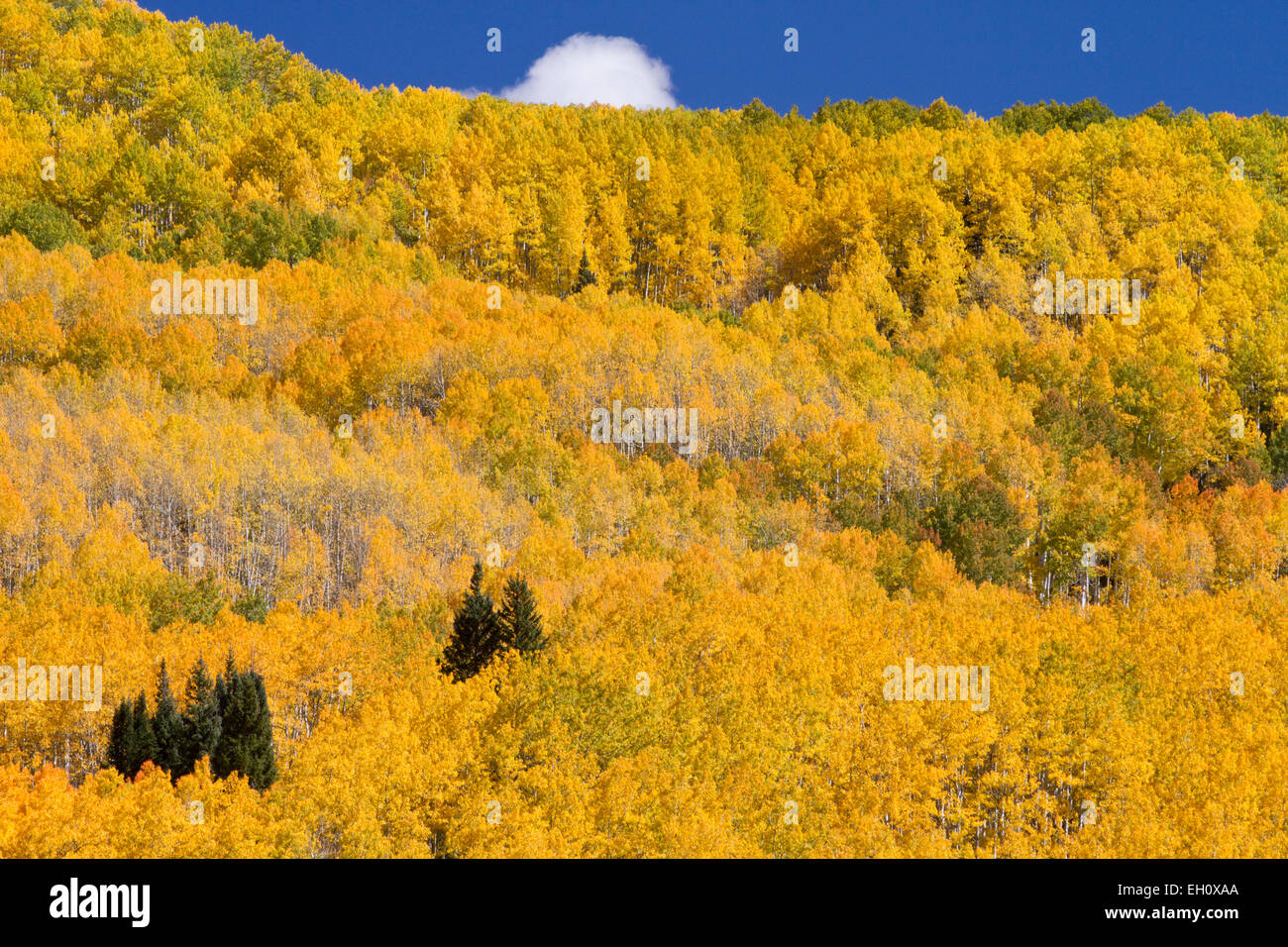 Fall colors in Gunnison National Forest, Colorado - Stock Image