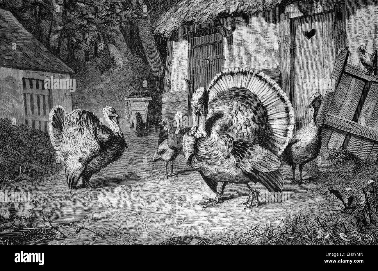 Turkeys, historical image 1886 Stock Photo