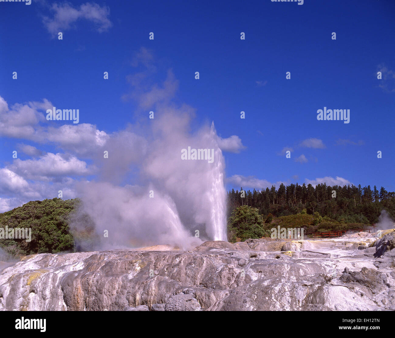 Prince of Wales Feathers geyser erupting, Te Puia Thermal Valley, Rotorua, Bay of Plenty Region, North Island, New - Stock Image