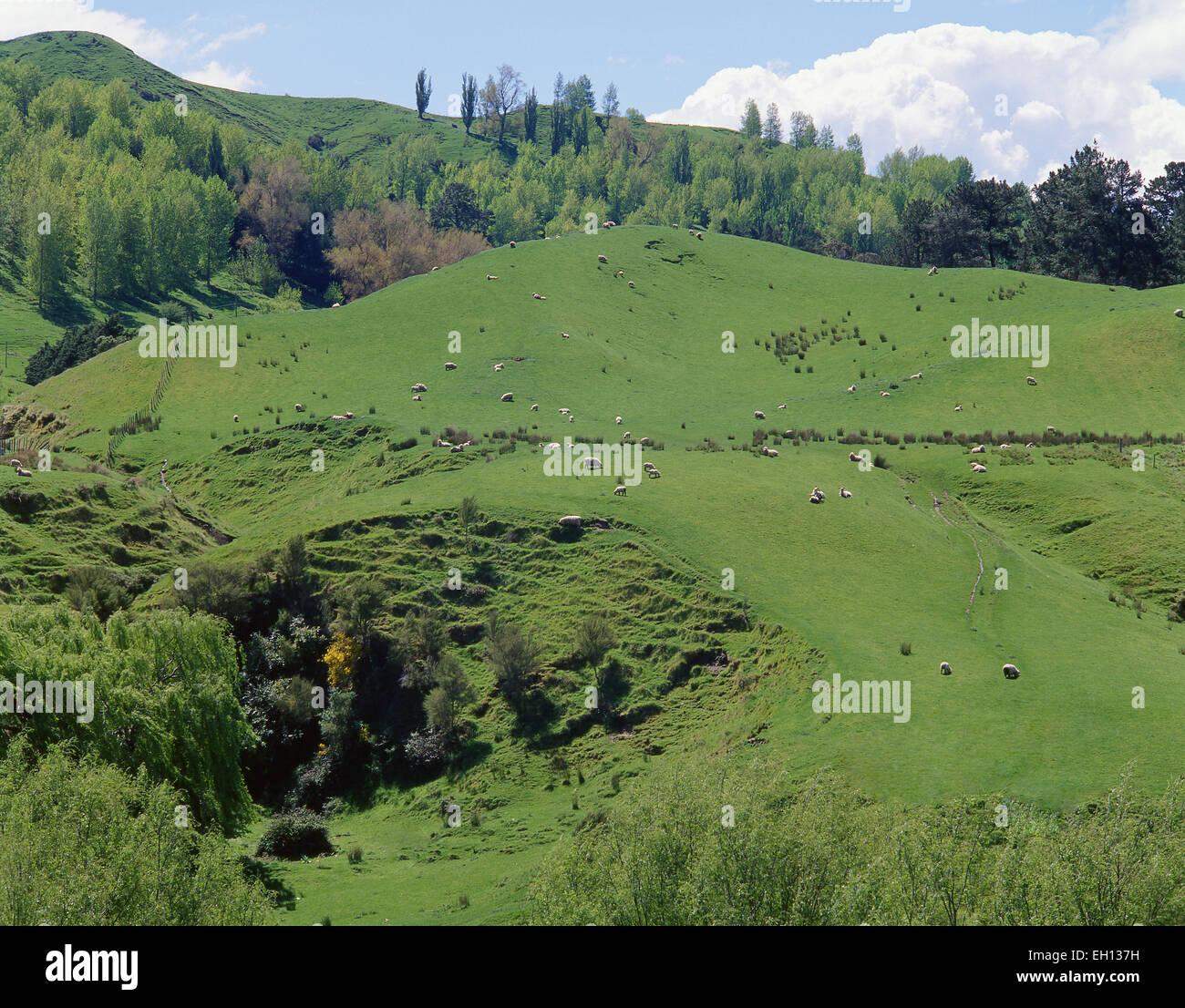 Sheep on hillside, Rotorua District, Bay of Plenty Region, North Island, New Zealand - Stock Image