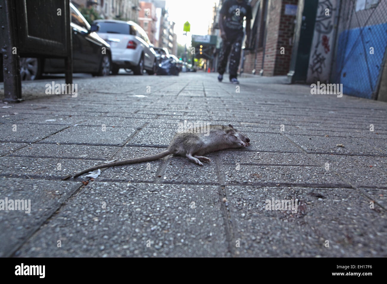 A dead rat lying on the sidewalk of Stanton Street on the Lower East Side of New York City. - Stock Image