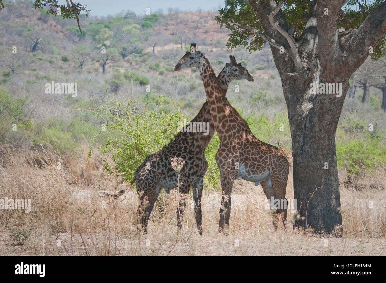 Two Masai giraffes standing by tree, necks crossed - Stock Image