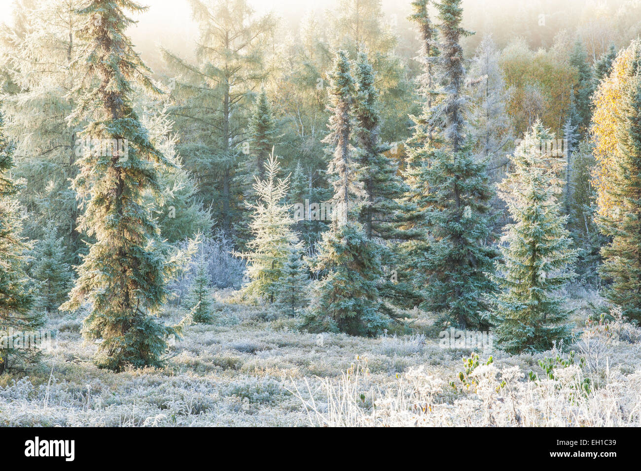 Frosted conifers, Lively, Ontario, Canada. - Stock Image