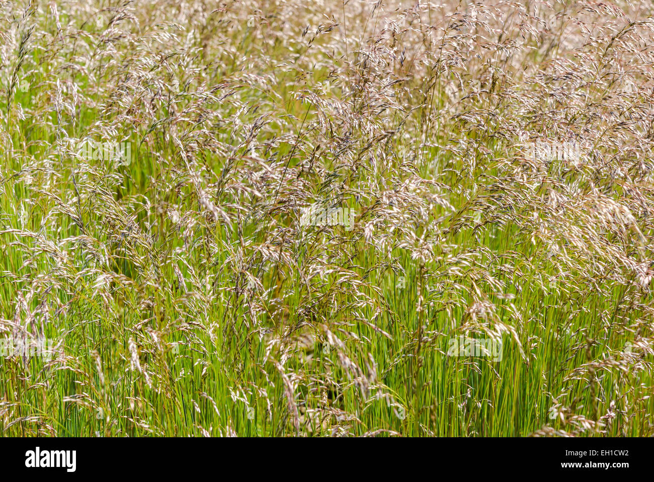 Green and brown long grass with ears in the wind. - Stock Image
