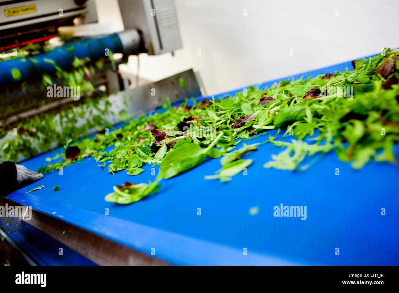 Fresh leafy vegetables on conveyer belt - Stock Image
