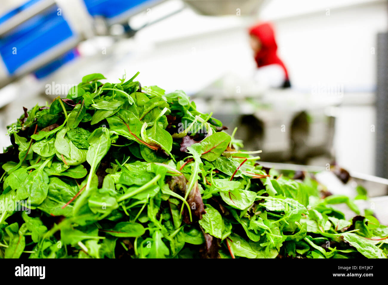Stack of leafy vegetables in factory - Stock Image