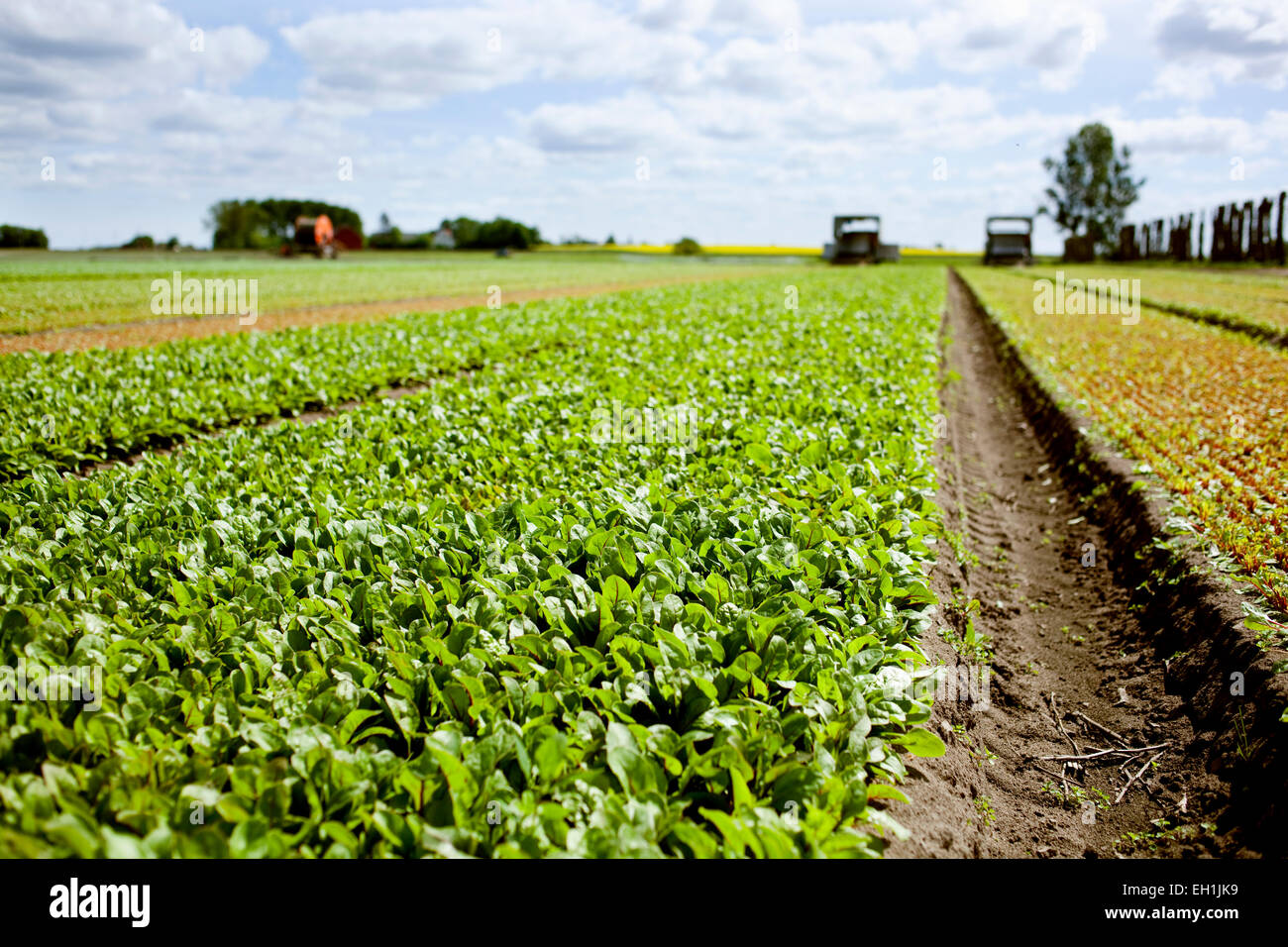 Green leafy vegetables on field - Stock Image