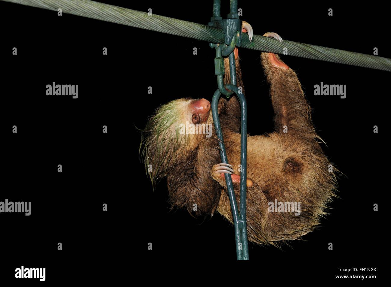 Three-Toed Sloth (Bradypus variegatus) using a bridge to gross a river, La Selva Biological Station, Costa Rica - Stock Image