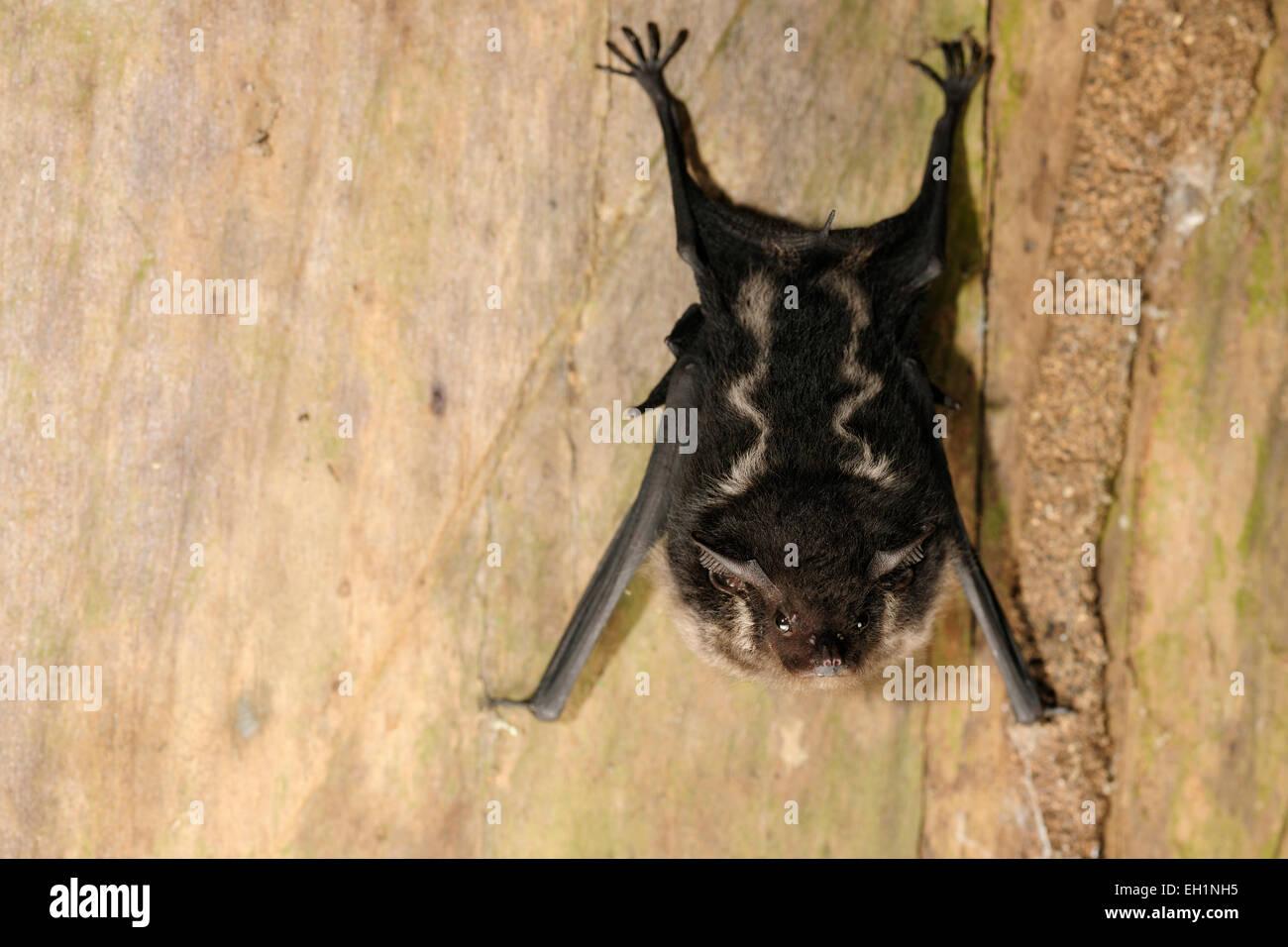 Greater Sac-winged Bat. (Saccopteryx bilineata), La Selva Biological Station, Costa Rica |  Sackflügel- oder - Stock Image