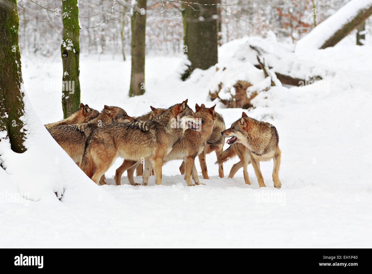 Wolves (Canis lupus) in the snow, wolf pack, Neuhaus wildlife park, Neuhaus im Solling, Lower Saxony, Germany - Stock Image
