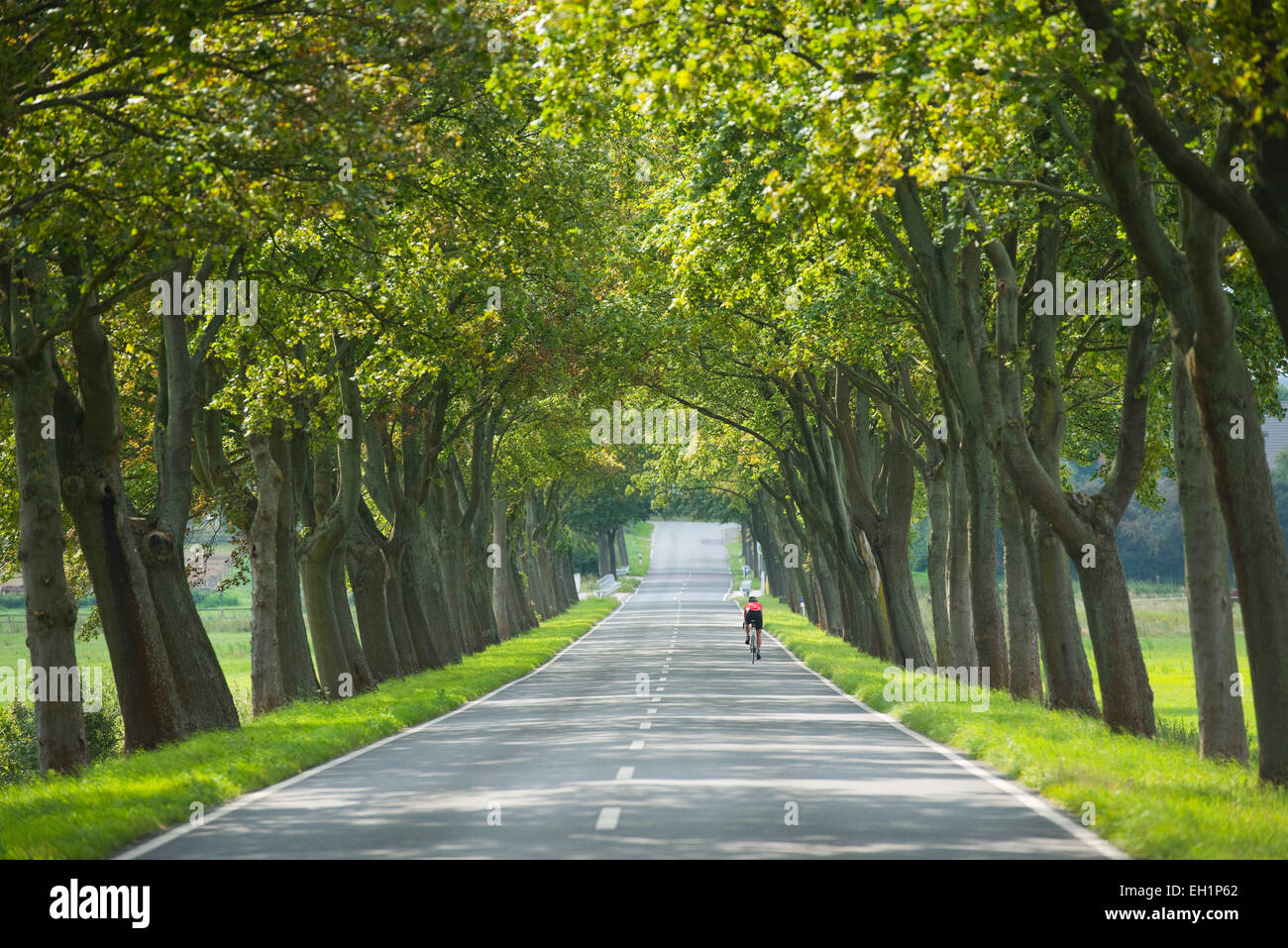 Maple Tree avenue, Maple Trees (Acer), between Hattorf and Beienrode, Lower Saxony, Germany - Stock Image