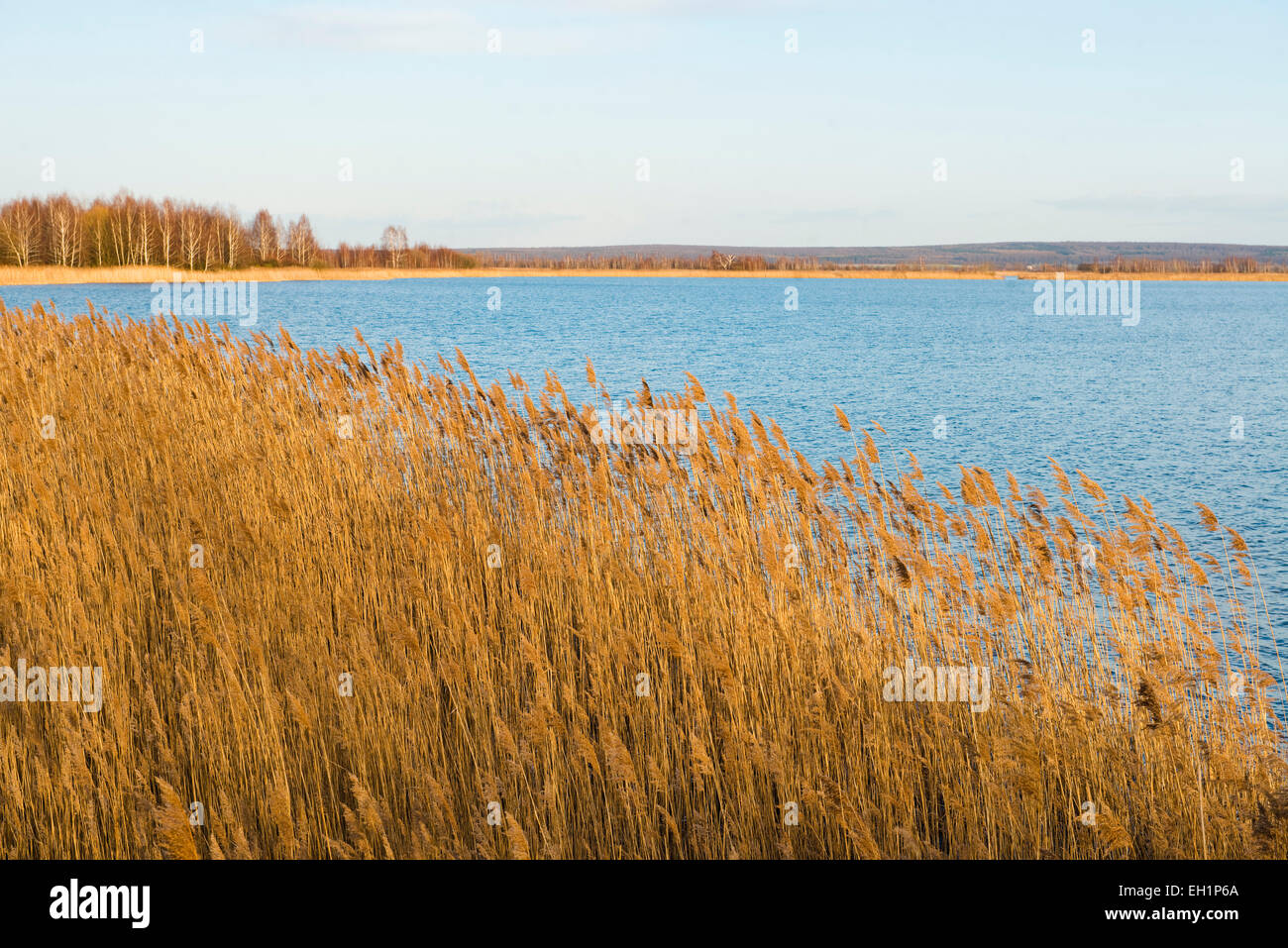 Common Reed (Phragmites australis, Phragmites communis) and an expanse of water, Heerter See Nature Reserve, Lower - Stock Image