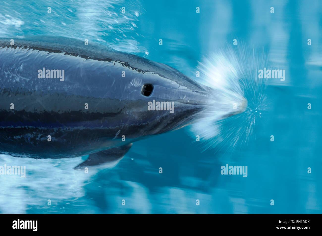 Bottlenose dolphins (Tursiops truncatus) Marlborough Sounds, New Zealand [size of single organism: 3 m]   Große - Stock Image