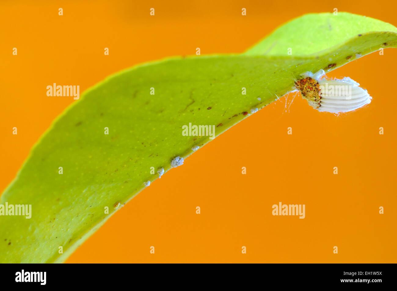 Cottony cushion scale insect (Icerya purchasi) on a lemon leaf - Stock Image