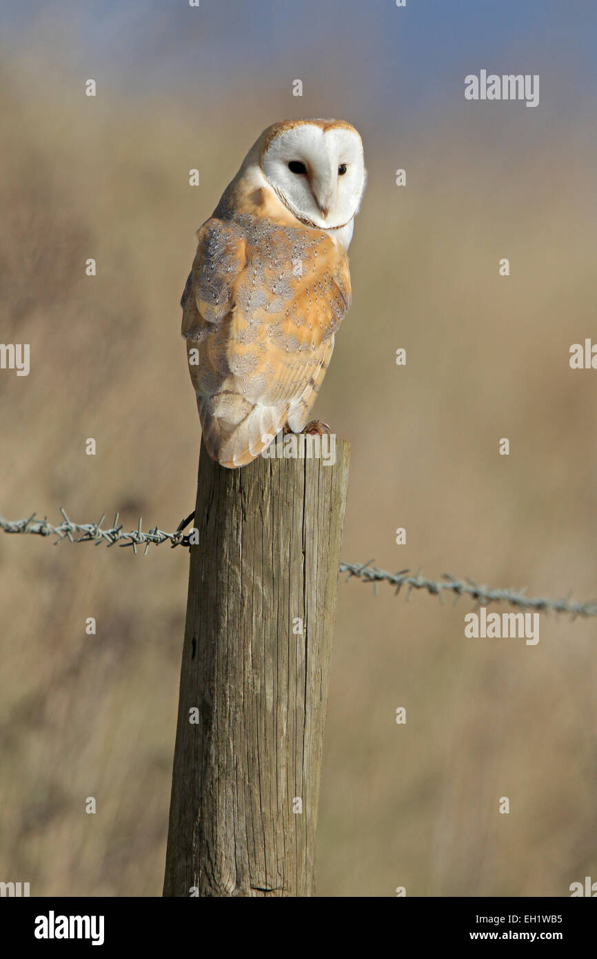 Wild Barn Owl on a fence post - Stock Image