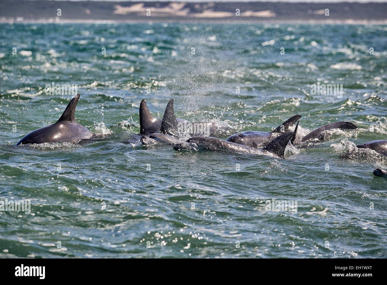 herd of hunting bottlenose dolphin (Tursiops truncatus), Eastern Cape, South Africa - Stock Image