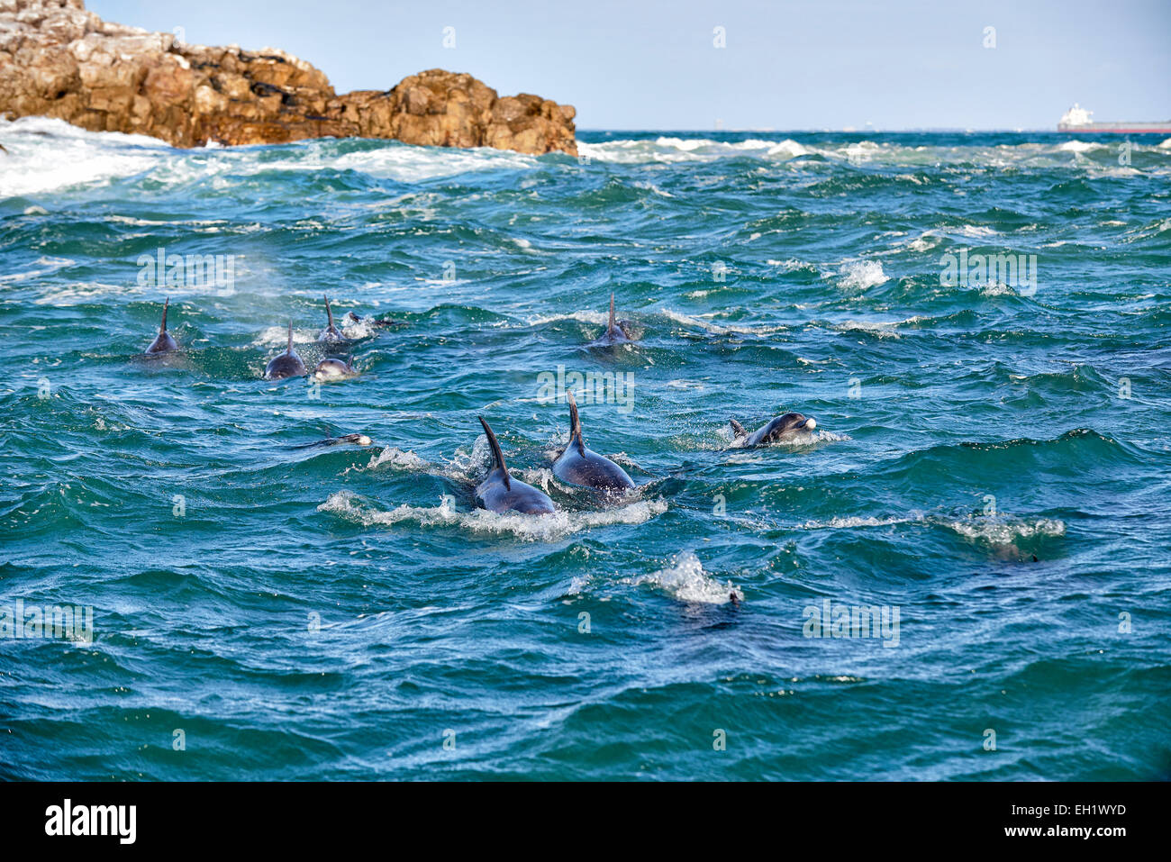 herd of hunting bottlenose dolphin (Tursiops truncatus), Eastern Cape, South Africa - Stock Image