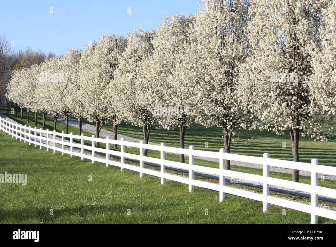 a row of blossoming pear trees lines a gravel driveway in fishers