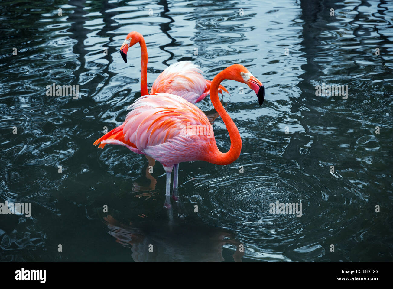 Two pink flamingos standing in the water with reflections. Vintage stylized photo with colorful tonal correction - Stock Image
