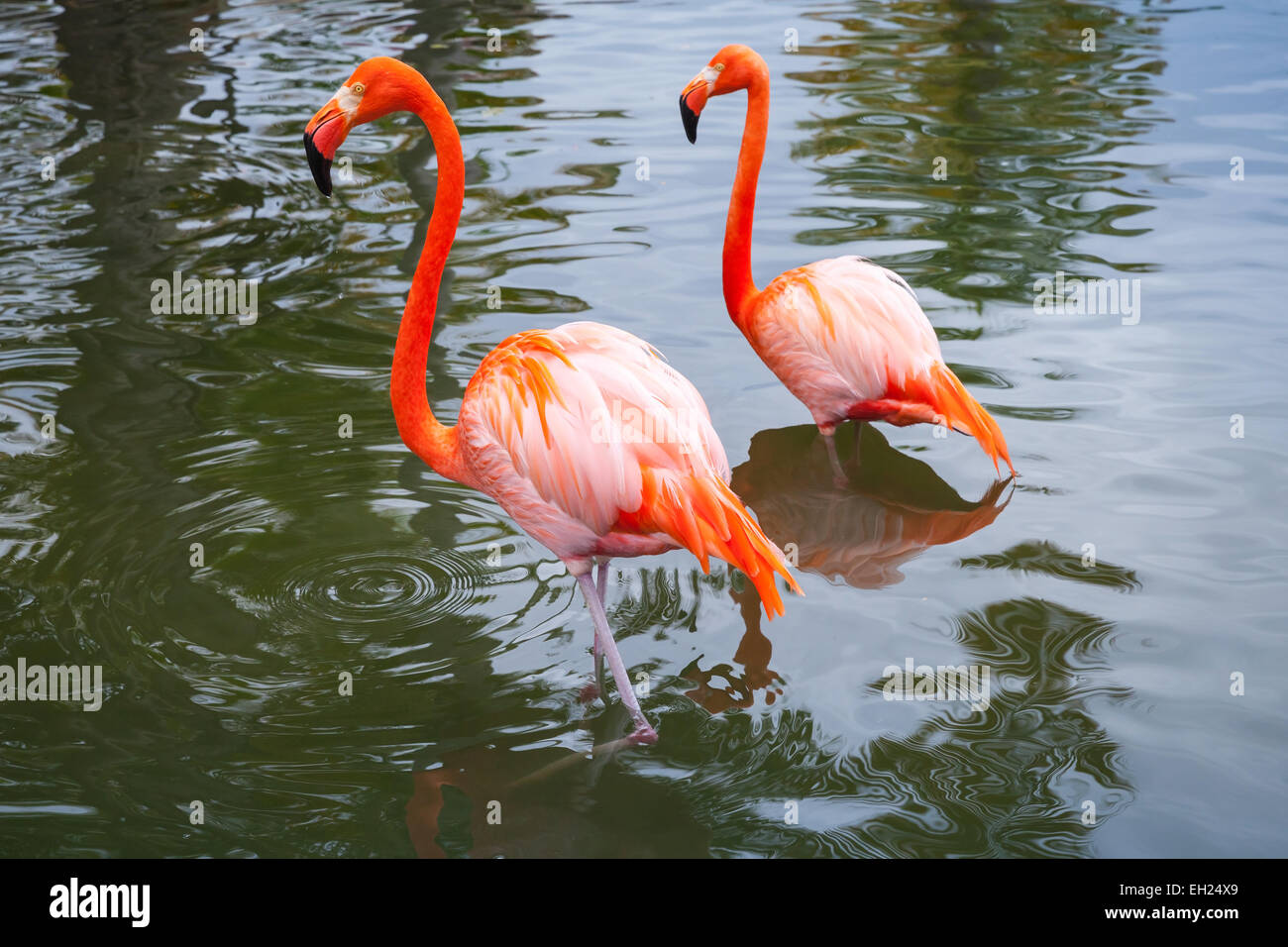 Two pink flamingos walking in the shallow water Stock Photo