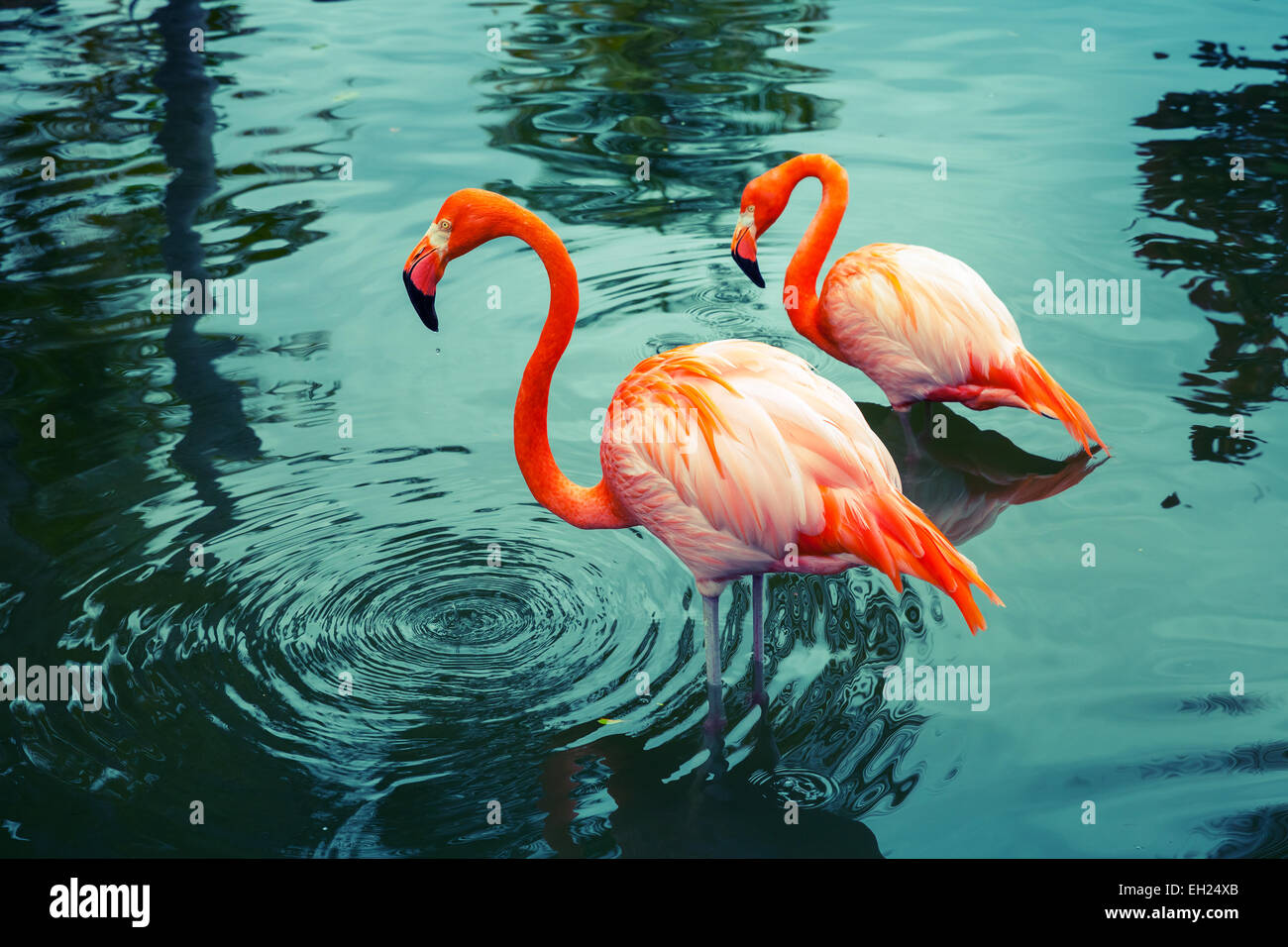 Two pink flamingos walking in the water with reflections. Vintage stylized photo, with colorful tonal correction - Stock Image