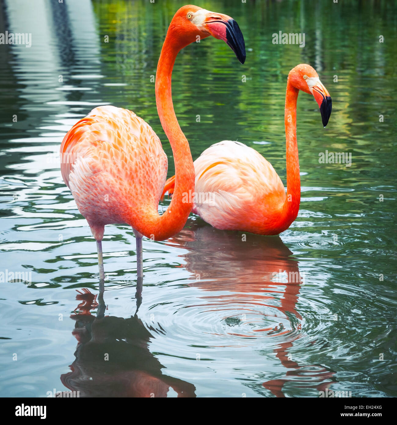 Two pink flamingos walking in the water with reflections - Stock Image