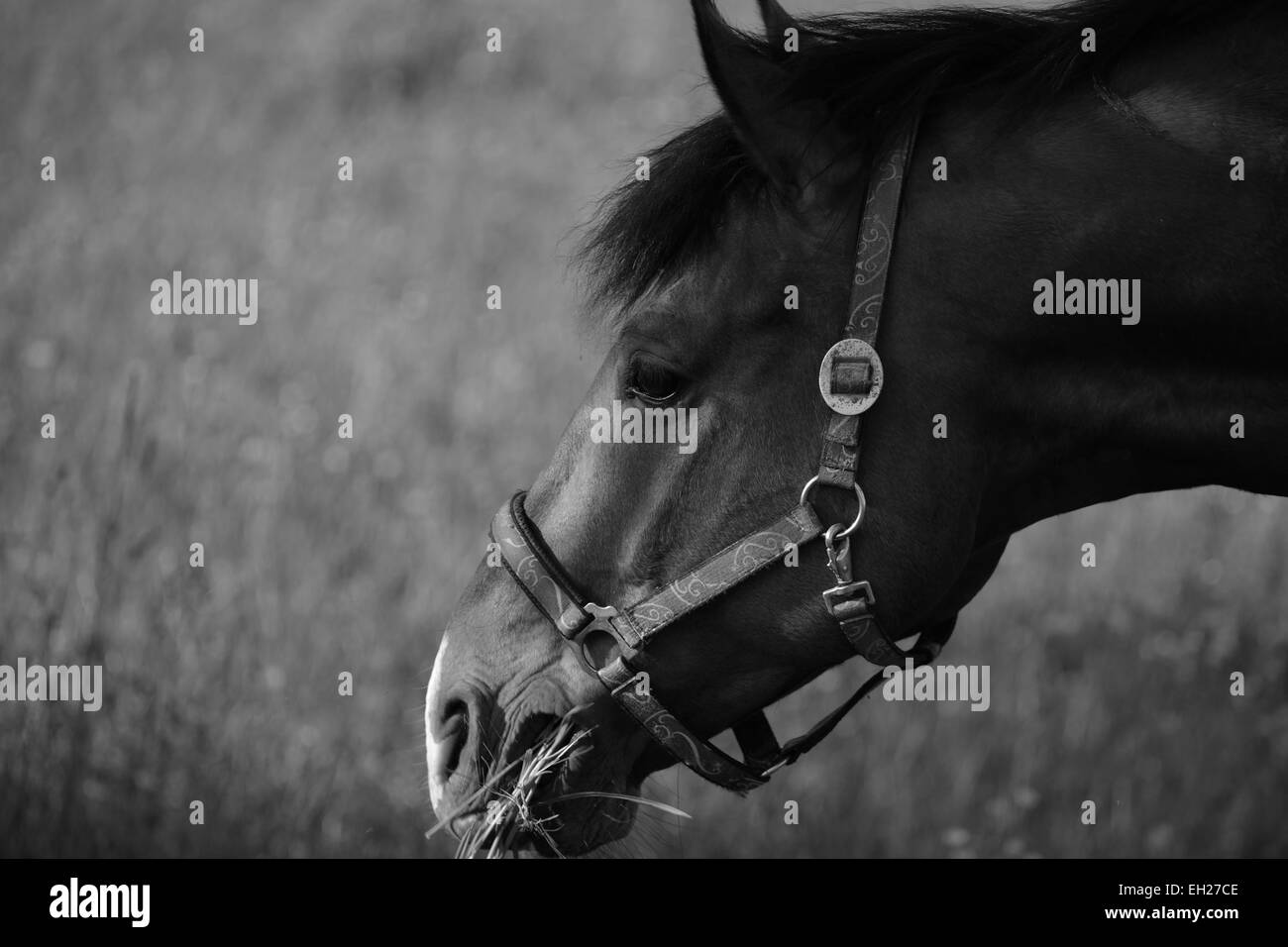 Black an white image of a horse having some grass on a meadow - Stock Image