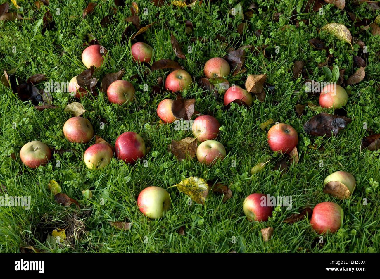 windfall apples - Stock Image