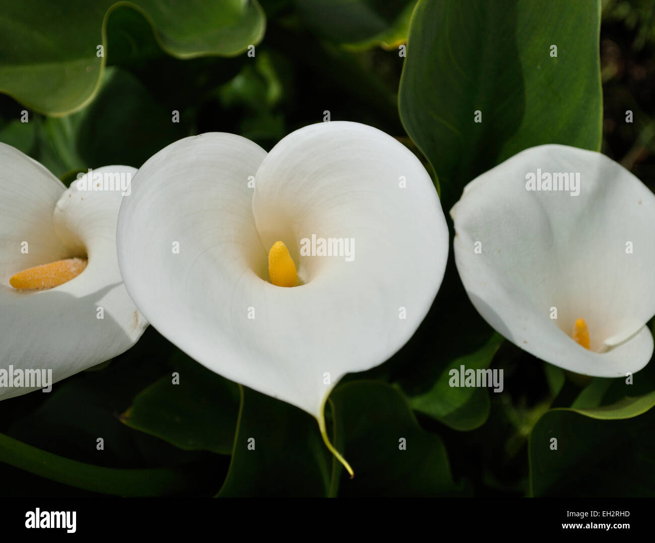 Heart White Calla Lily Flower Stock Photos Heart White Calla Lily