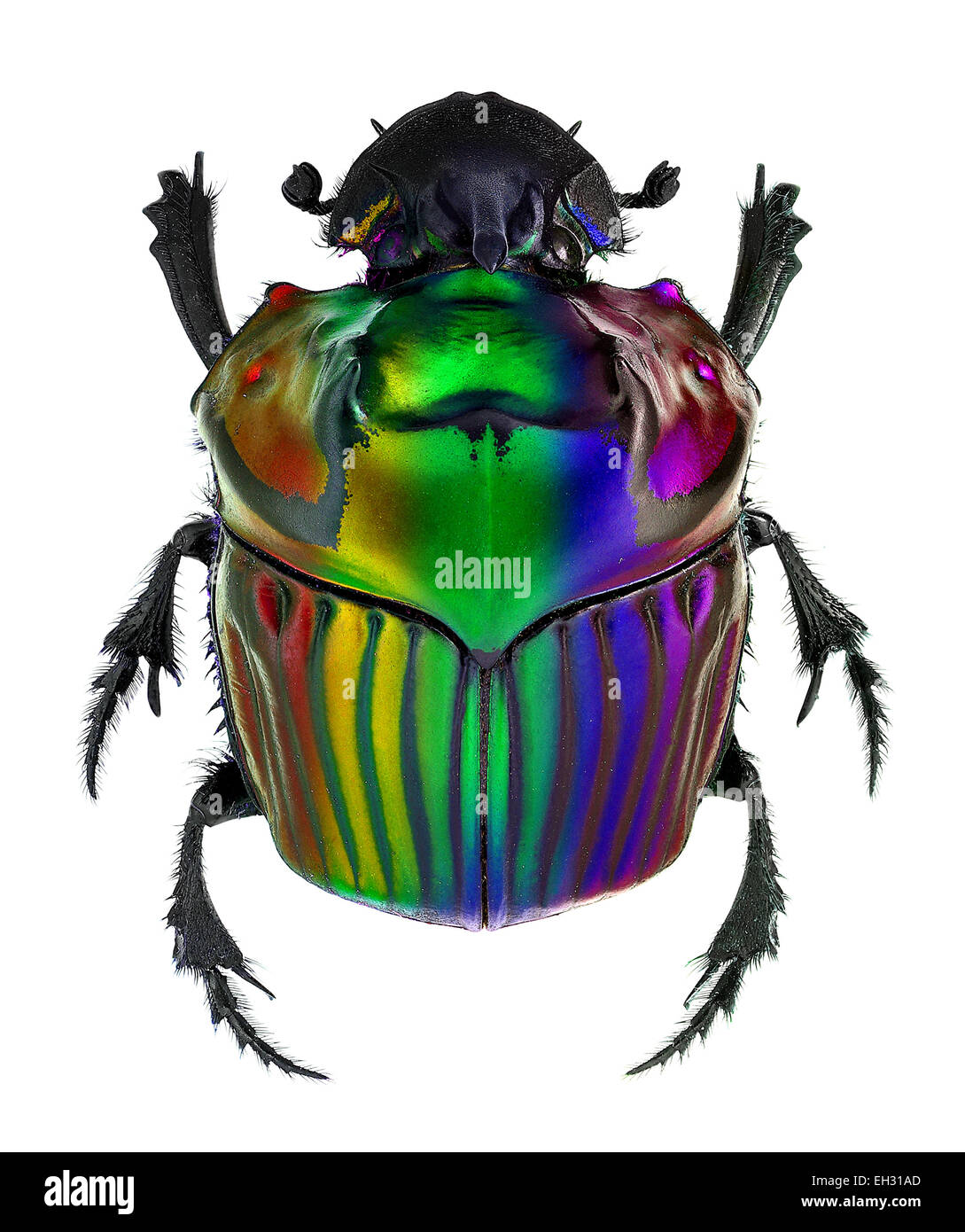 fantasy colors on Oxysternon conspicillatum dung beetle Stock Photo