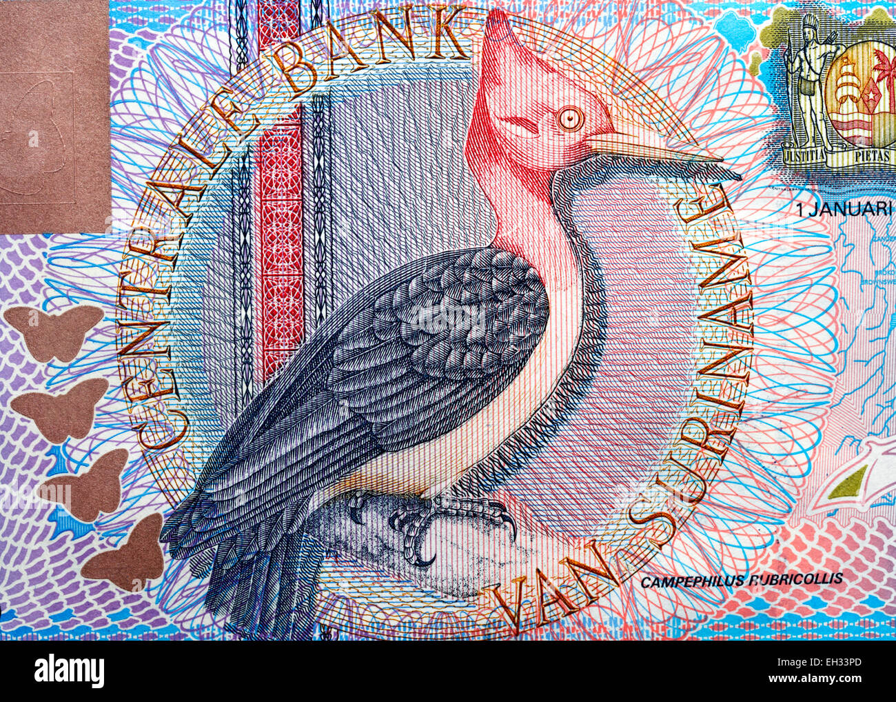 Red-necked Woodpecker (Campephilus rubricollis) from 5 gulden banknote, Suriname, 2000 - Stock Image