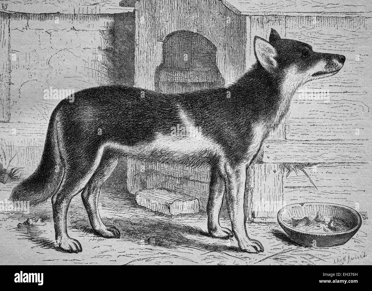Chukchi Laika, husky, sled dog, woodcut, historical engraving, 1882 - Stock Image