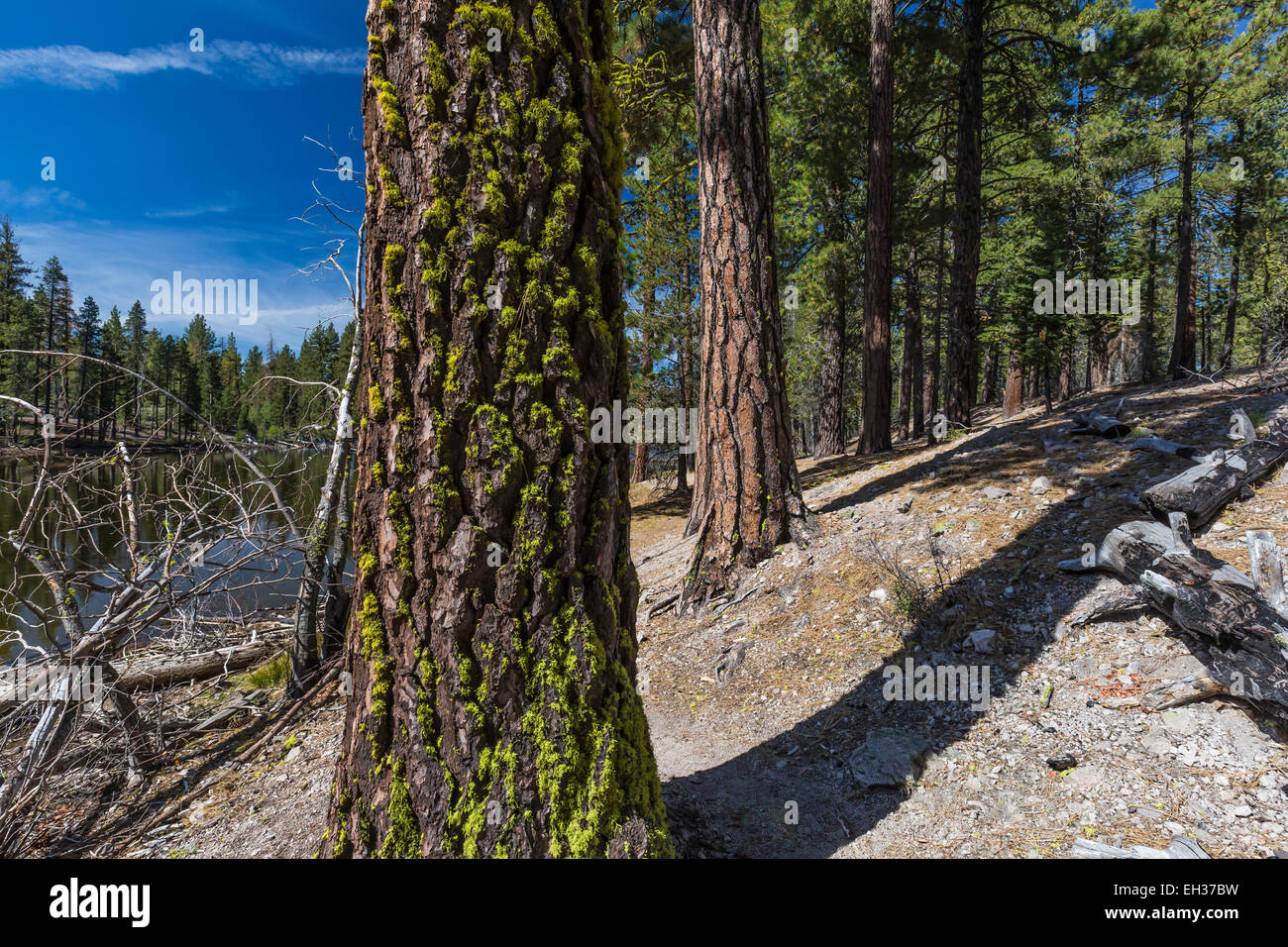 Red Fir, Abies magnifica, with a Ponderosa Pine, Pinus ponderosa, behind, in Lassen Volcanic National Park, California, - Stock Image