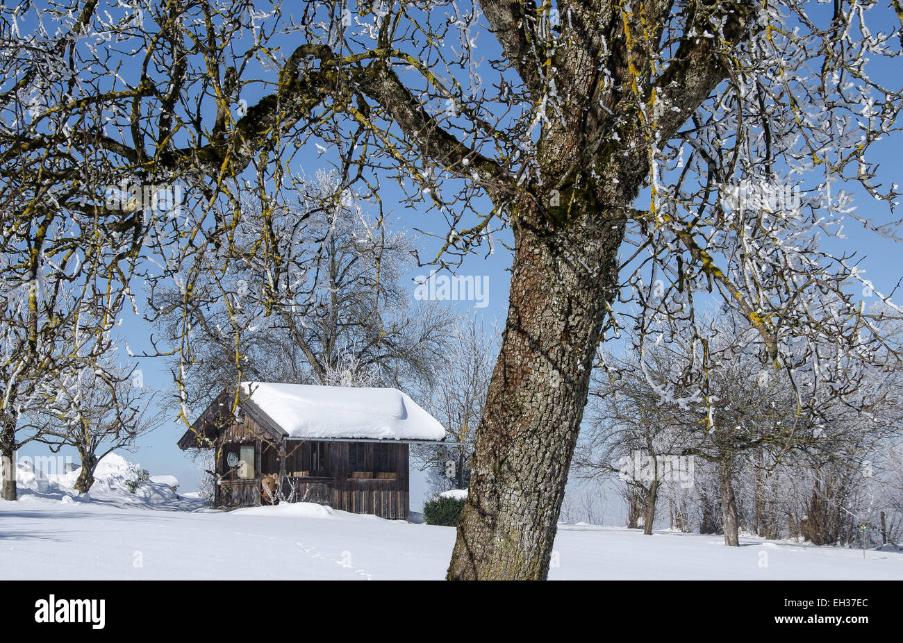wooden hut on a wintery day with a blue sky and hoar frost on fruit trees - Stock Image
