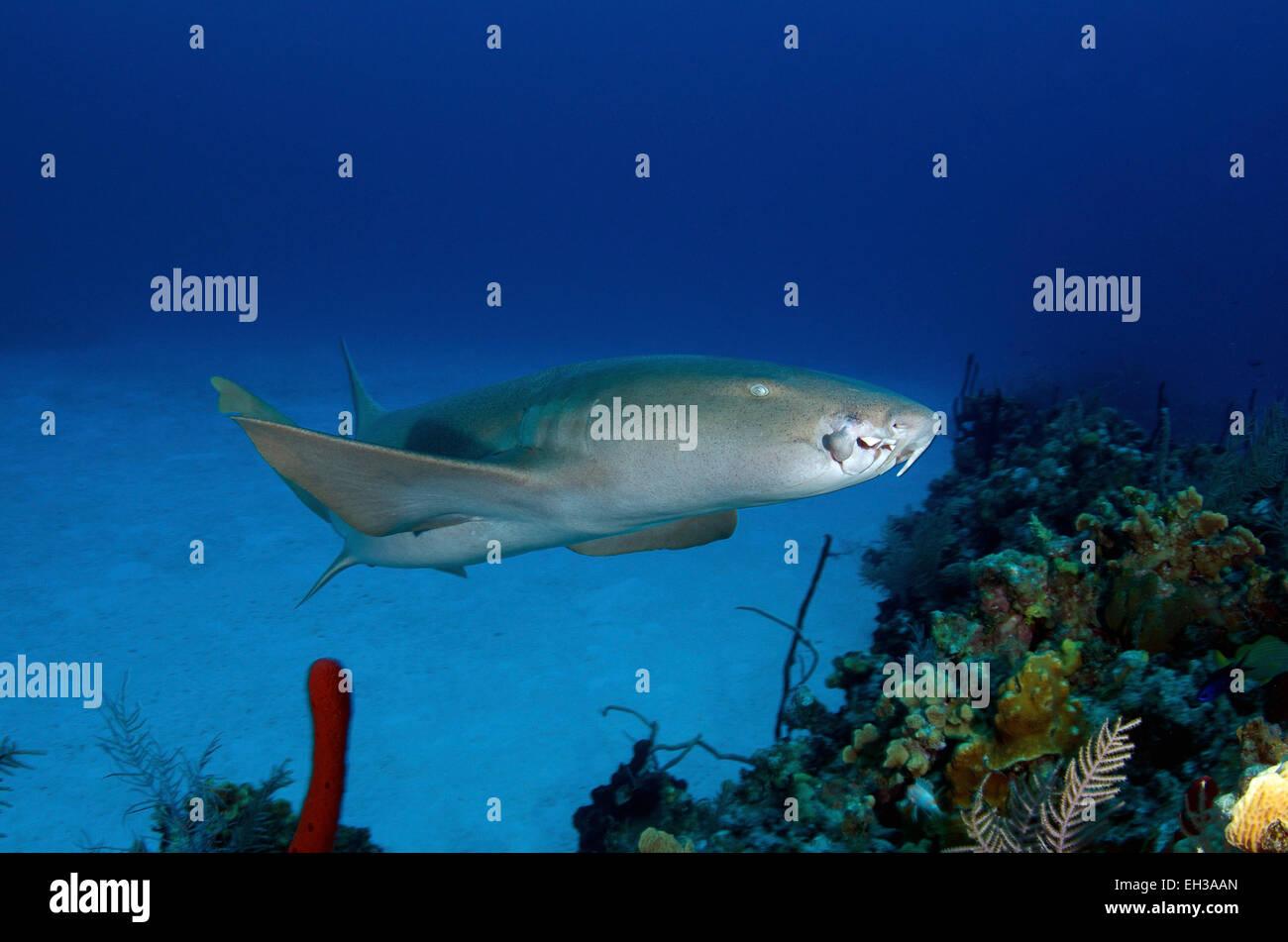 Nurse sharks and bikini atoll