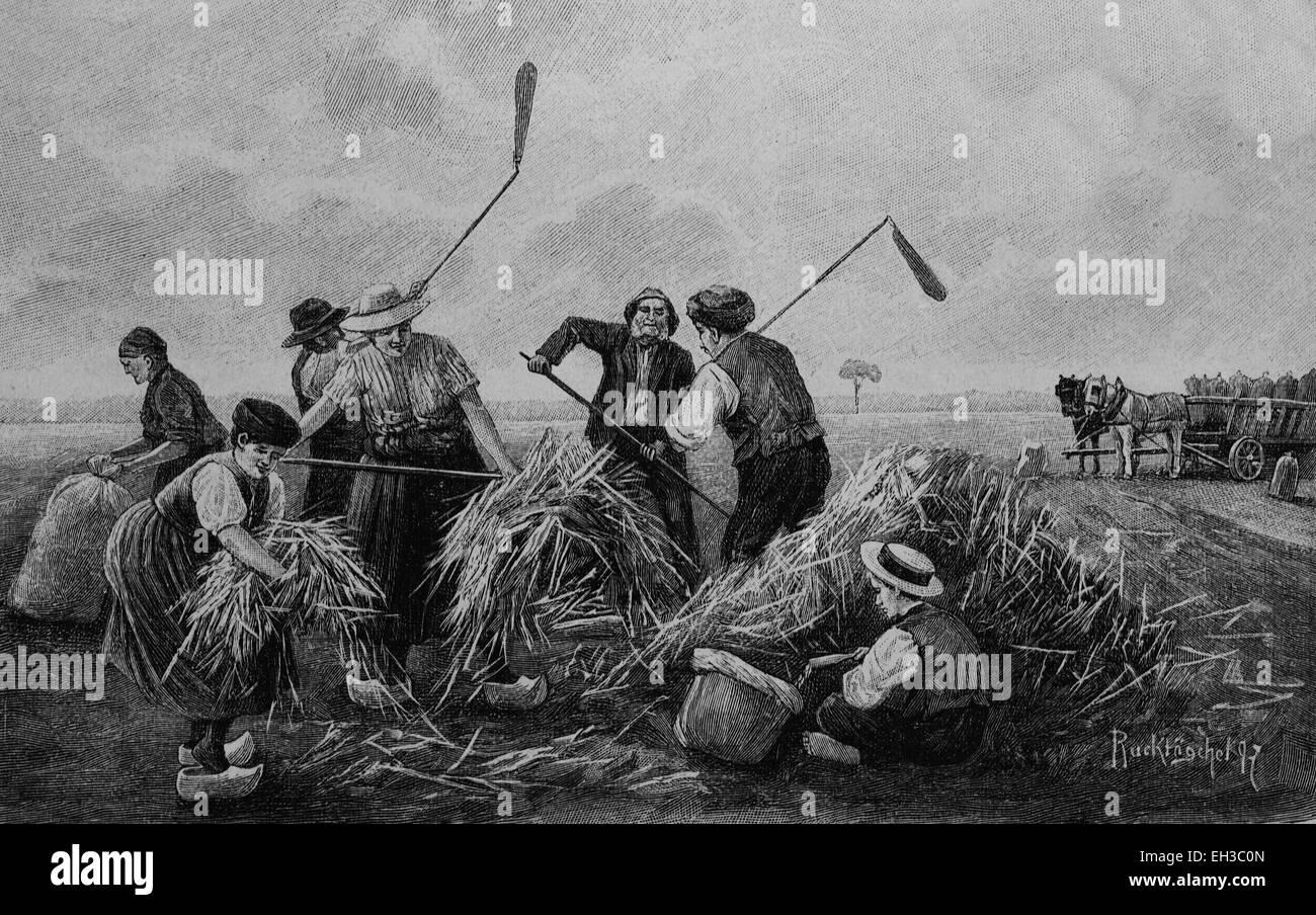Buckwheat harvesting, woodcut, 1880 - Stock Image