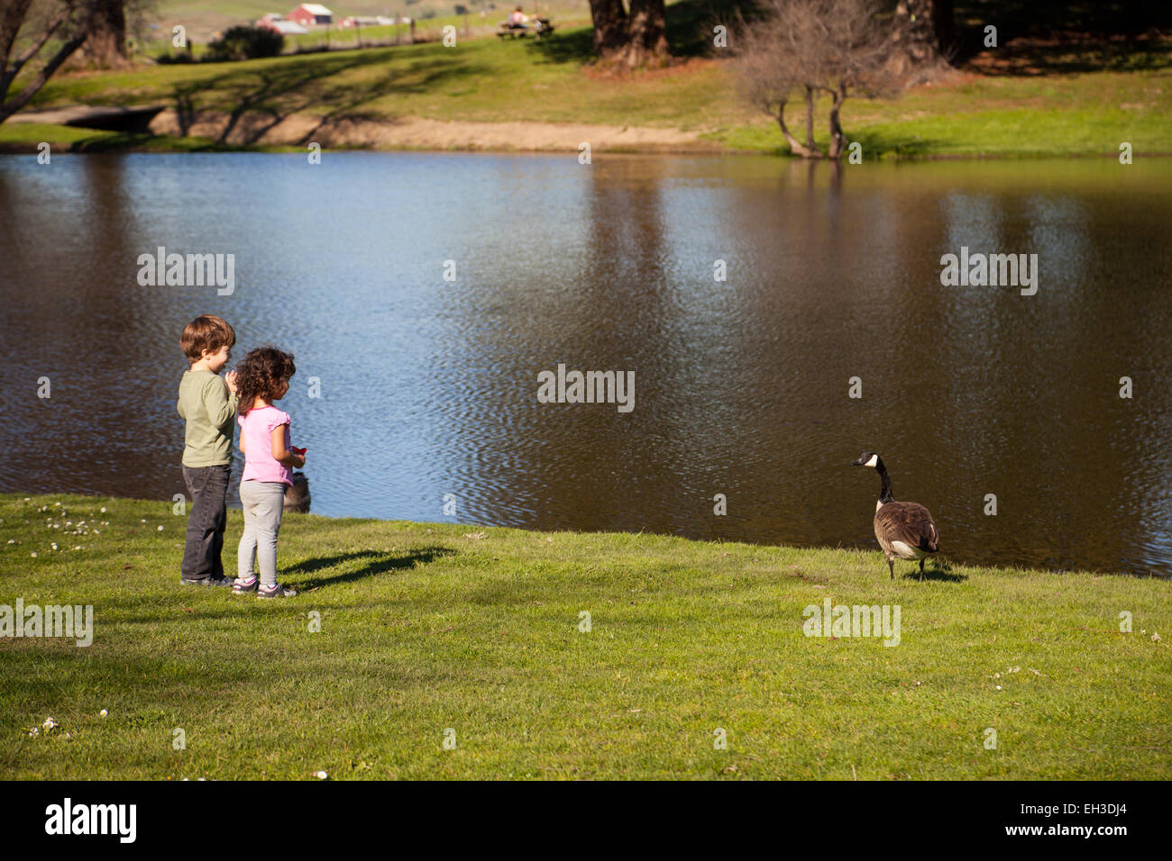 Two three year-olds feeding the geese at a pond, Petaluma, California, USA - Stock Image