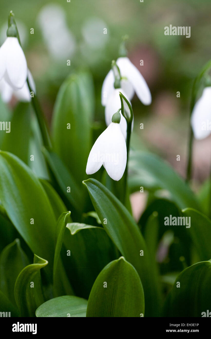 Galanthus 'Woronowii'. Species snowdrop growing on the edge of a woodland garden - Stock Image
