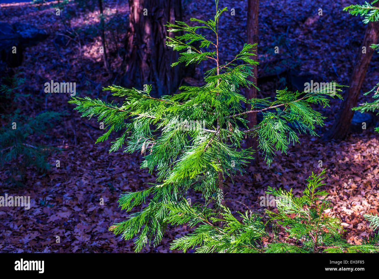 Colorful small sized pine tree. - Stock Image