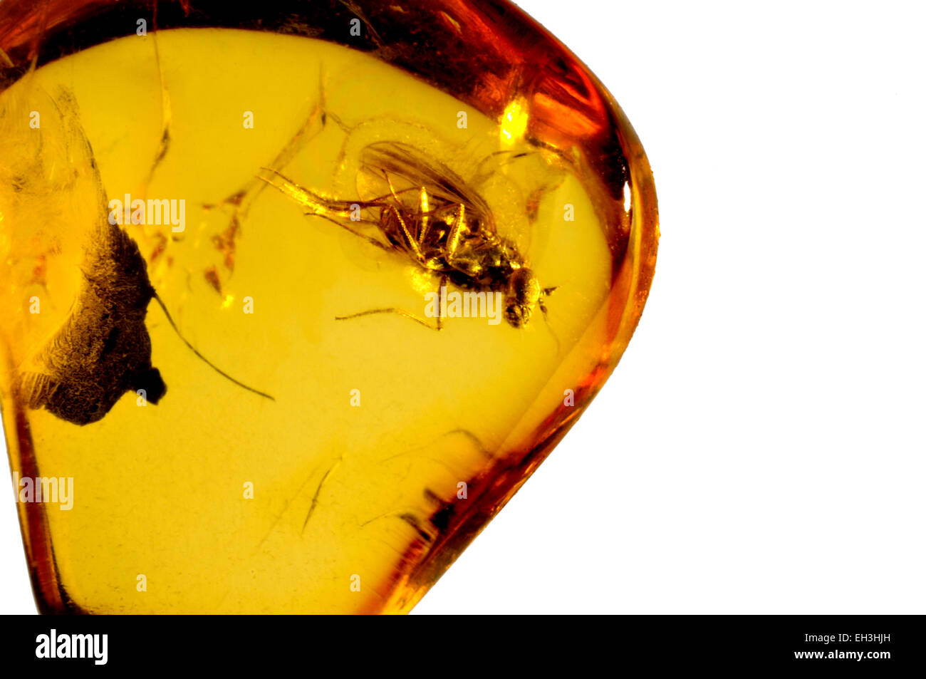 Prehistoric long-legged fly preserved in Baltic amber - Stock Image