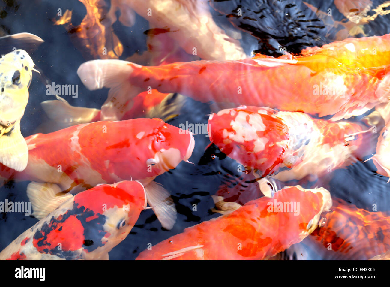 beautiful bright colorful carp in the pond in the park Stock Photo ...