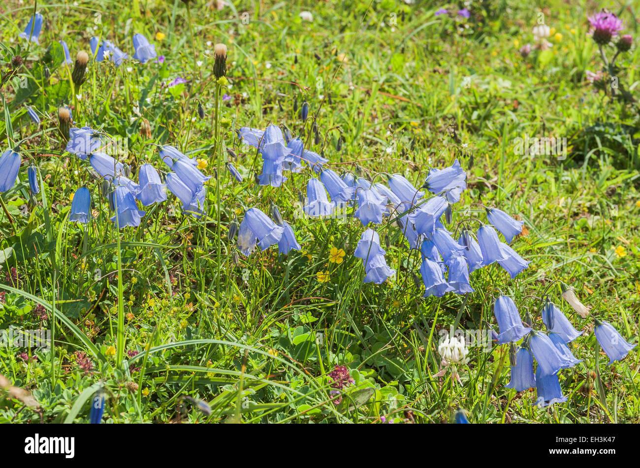 Fairies' thimbles (Campanula cochleariifolia), Mountain Meadow, Dolomites, Trentino-Alto Adige, Italy - Stock Image