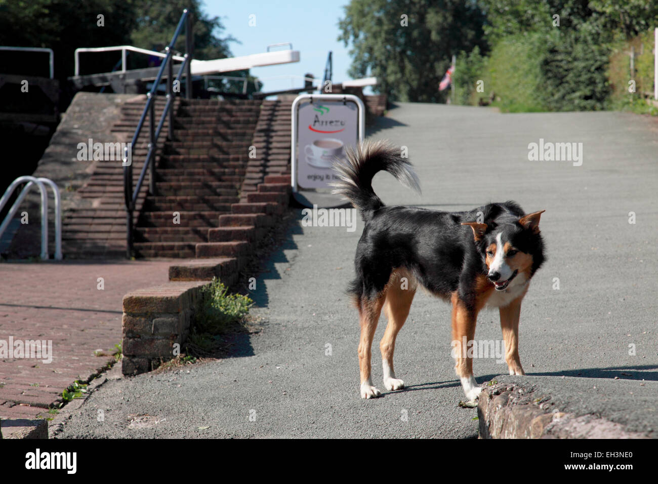A young playful collie dog next to the staircase locks at Grindley Brook on the Llangollen canal near Whitchurch, - Stock Image