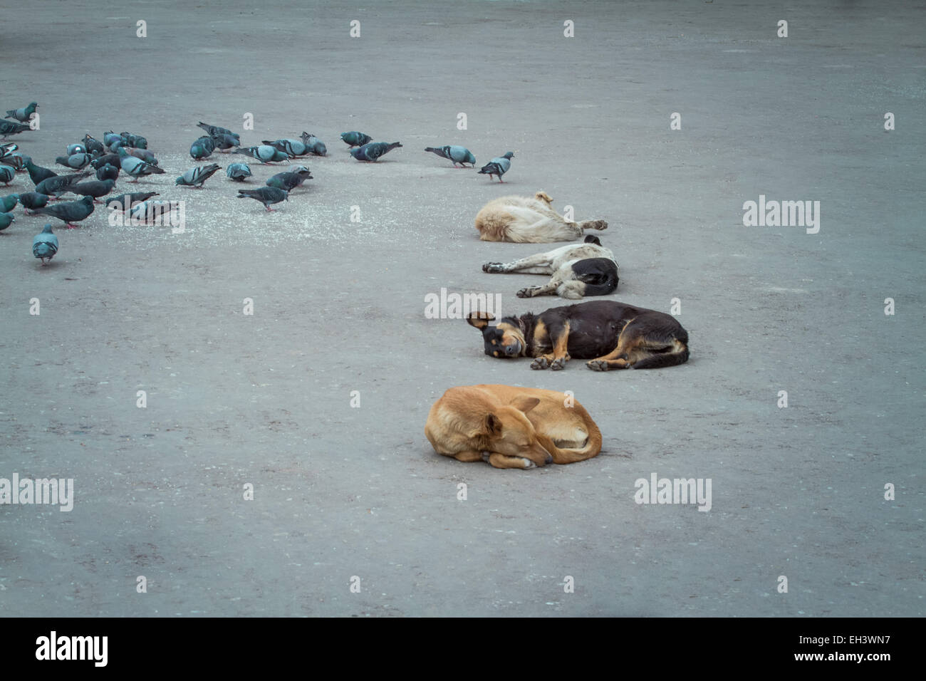 sleeping dogs and pigeons, Darjeeling, India - Stock Image