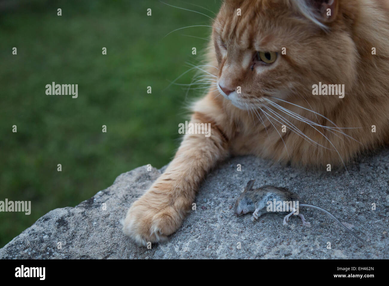 Cat lying ext to a dead mouse on a rock. Stock Photo
