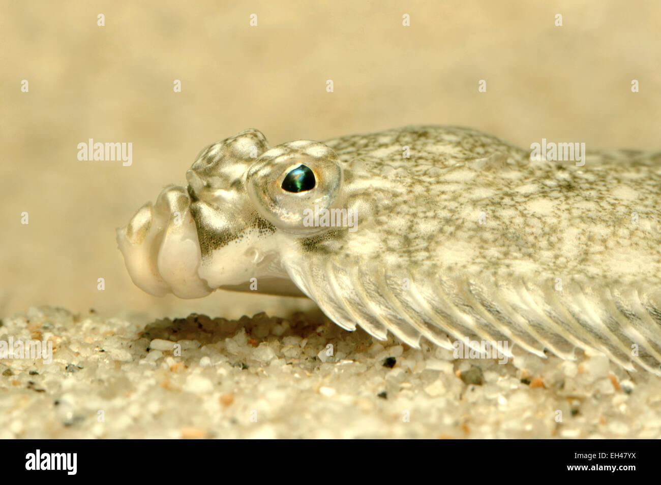 Plaice - Pleuronectes platessa Stock Photo