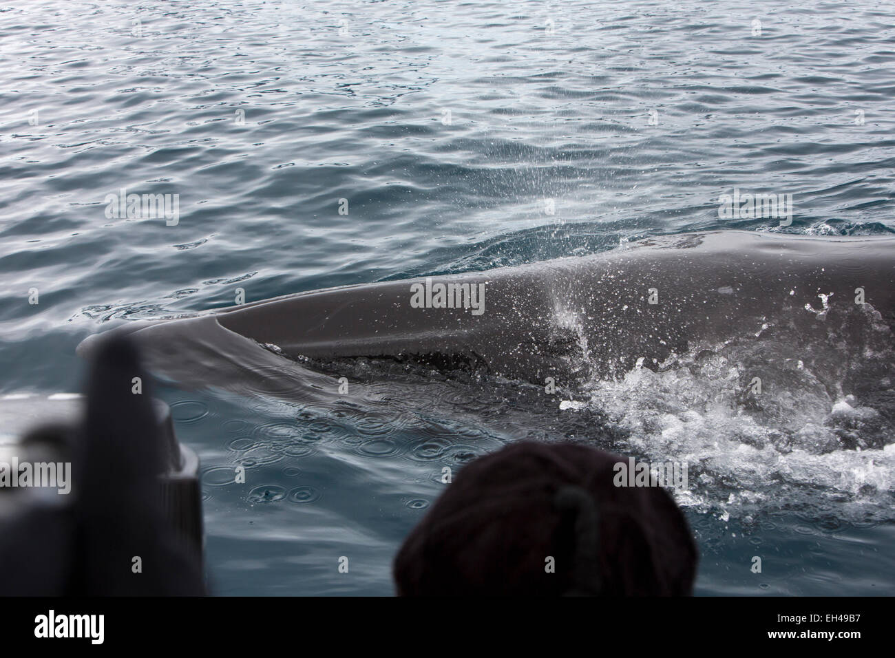 Antarctica, Paradise Bay, minke whale surfacing beside zodiac expedition boat Stock Photo