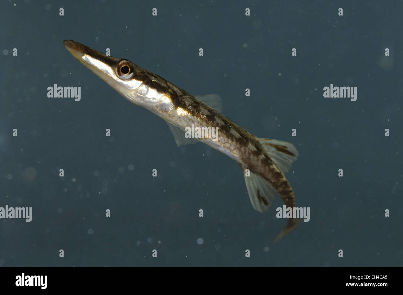 Fifteen-spined Stickleback - Spinachia spinachia - Stock Image