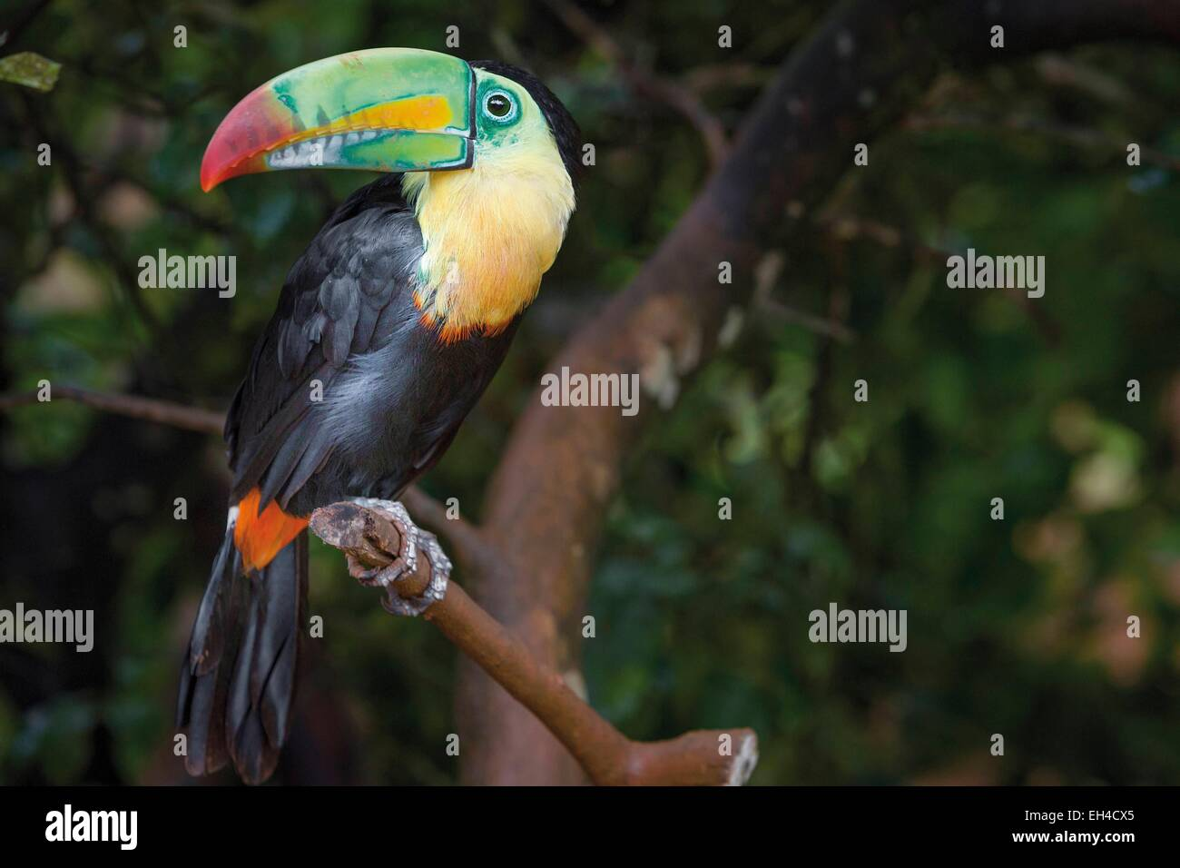 Panama, Darien province, Darien National Park, listed as World Heritage by UNESCO, Embera indigenous community, portrait of a toucan on a branch Stock Photo