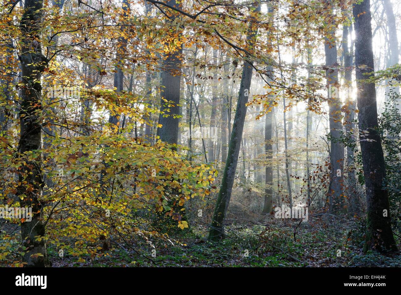 France, Allier, sessile oak forest (Quercus petraea), national forest of Moladiers, near Moulins, Bourbonnais - Stock Image